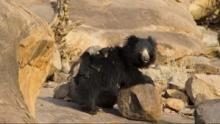 Sloth Bears Programma