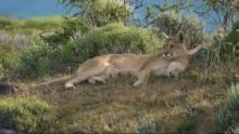 Aus dem Leben einer Puma-Familie Programm