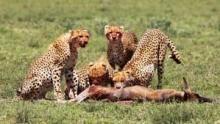 Gepárdok - vadásszá válni film