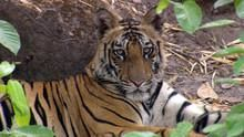Last Maneater: Killer Tigers of India show