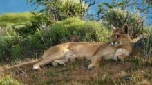 Puma: sovrani delle Ande programma