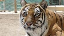 American Tiger Programma