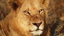 Timbavati - nehéz élet egy szépséges vadonban film