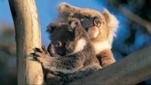 Koalák: lassú élet egy gyorsuló világban film