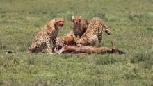 獵豹:致命片刻 Cheetah: Fatal Instinct  節目