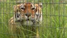 Tigres en alerte Voir la fiche programme