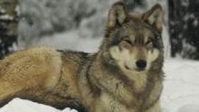 La vallée des loups Voir la fiche programme