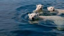 L'ours des glaces Voir la fiche programme