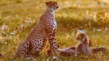 L'instinct du guépard Voir la fiche programme
