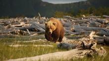 El nómada de los osos Serie