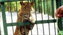 Les léopards de Bollywood Voir la fiche programme