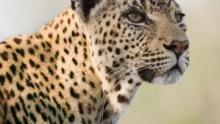 La reine des léopards Voir la fiche programme