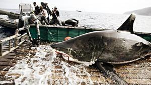 Hvithaien - Et misforstått rovdyr