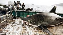 Hvithaien - Et misforstått rovdyr Program