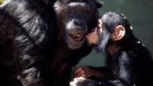 La ferme des chimpanzés Voir la fiche programme