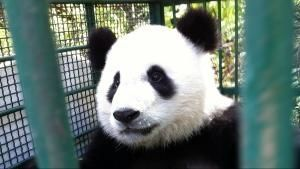 Wildes China: Pandas