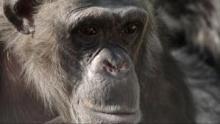 Nos cousins les singes Voir la fiche programme