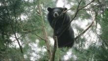 Ours noirs d'Asie Voir la fiche programme
