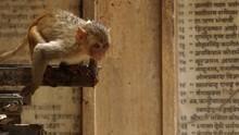 猴子小偷2 Monkey Thieves2 節目