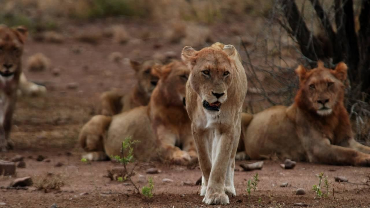 lion army national geographic channel asia