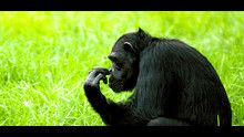 Uomo vs scimmia programma