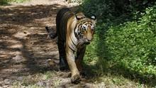 透視內幕: 非法老虎交易 Inside: The Tiger Trade 節目