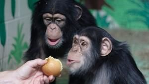 人猿本一家 Human Ape