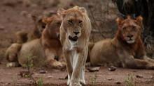 獅子大軍 Lion Army 節目