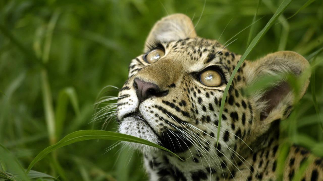Vocabulario Fundamental del Juez Roy Bean: Leopardo (7) Una leopardo ...