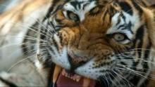 Tiger's Revenge Programma