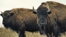 美洲野牛復育記 American Buffalo: Battling Back 節目