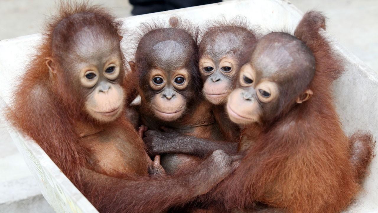 Orangutan Lifespan ORANGUTAN RESCUE BACK TO THE