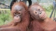 Orangutan Rescue: Back To The Wild show