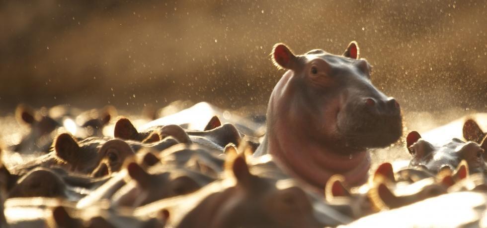 Hippo Vs Croco