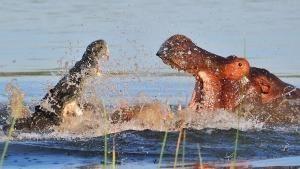 Il più forte: ippopotamo o coccodrillo?