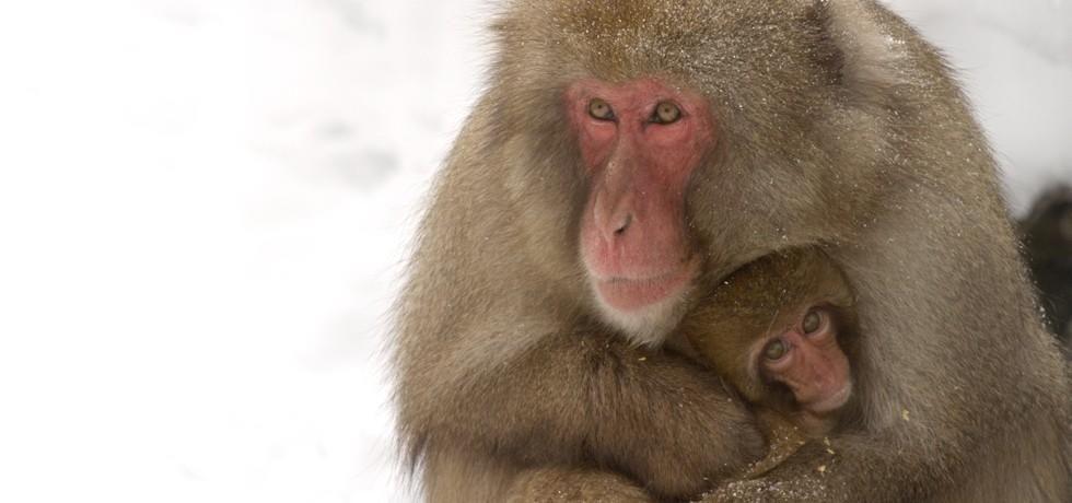 NEW Wild Japan: Snow Monkeys