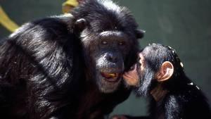 黑猩猩日記 Chimp Diaries