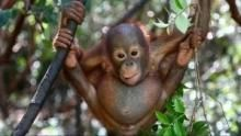 Спасение орангутангов программа