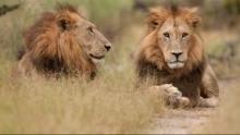 Wildes Botswana: Löwenbrüder Programm