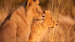 Wild Botswana: Lion Brotherhood