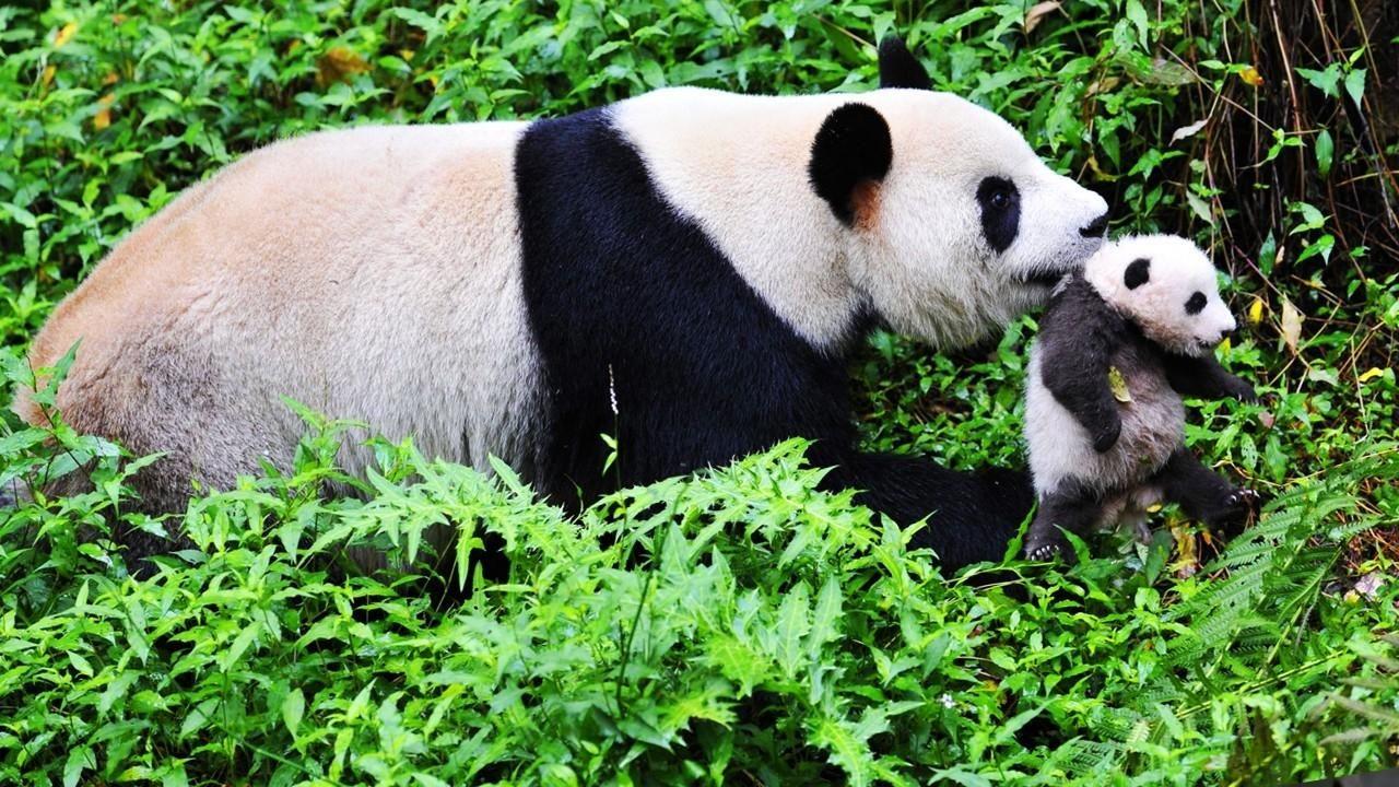 Giant Panda Channel Giant Pandas
