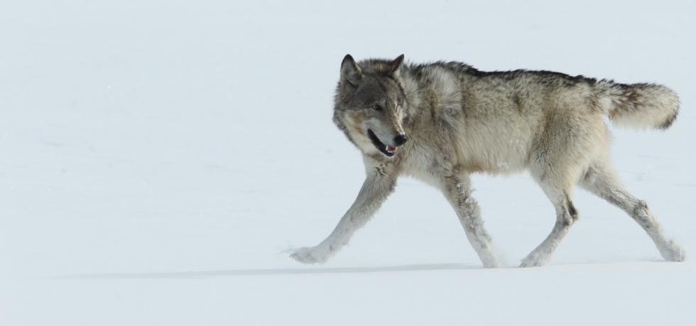 Destination Wild : La louve de Yellowstone