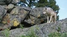 L'appel du loup Voir la fiche programme