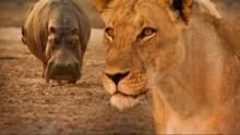 Turf War: Lions and Hippos show