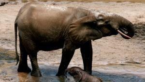 الحياة البرية في الكونغو