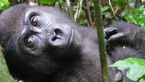 Mystisk gorilla
