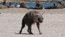 Hyena Coast show
