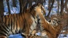 A hó tigrisei film
