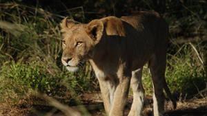 Caught On Safari: Live!