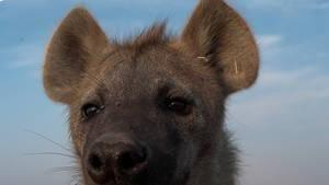 Hyeny: Přebornice v drcení kostí